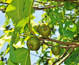 fig tree and green fresh figs