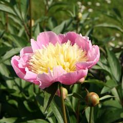 Peony flower blooming