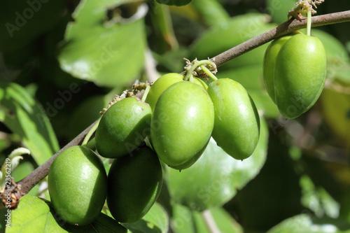 jujubes verts, jujubier, ziziphus jujuba, fruits tropicaux