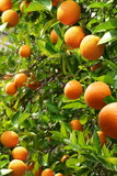 Orange trees with ripe oranges
