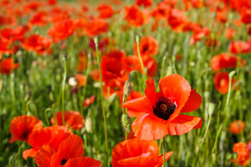 beautiful poppy field in a sun canicular day