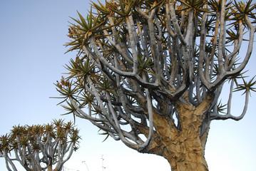 Köcherbaum Krone