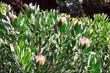 Monte Palace Tropical Garden – Koi Carp – Monte, Madeira