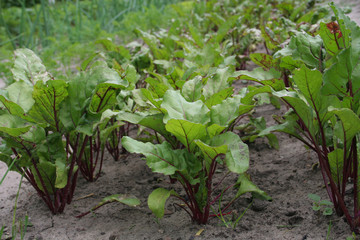 Planted beetroot