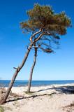 Pine tree at the beach, Baltic sea, Poland poster
