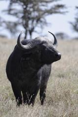 Cape Buffalo (Syncerus caffer) at Masai Mara, Kenya