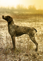 German Pointer Posing