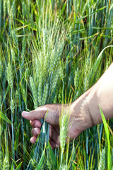 wheat in the men's hand