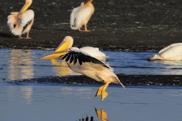 Great White Pelican (Pelecanus onocrotalus), lake Nakuru