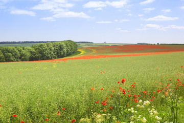 english landscape with field poppies