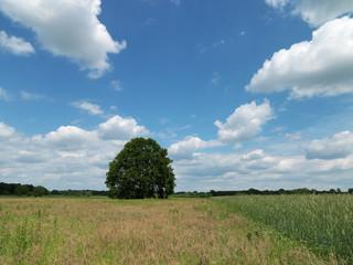 Baum, Eiche, Wiese