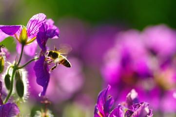 Biene im Anflug auf Malve