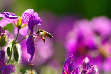 Biene im Anflug auf Malve 2