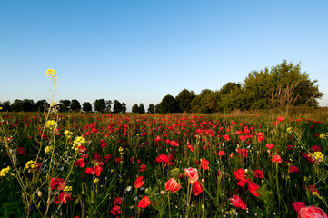 Poppy field summer