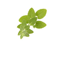 Lemon balm (Melissa officinalis) twig