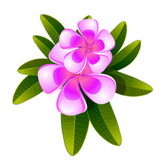 frangipani flower and leaves isolated vector