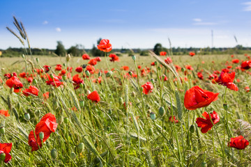 Wheat field and poppies in summer day