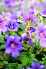 Pelargonie lila3
