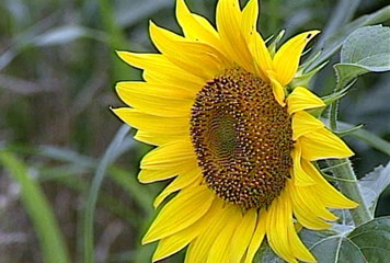 Single Yellow Sunflower