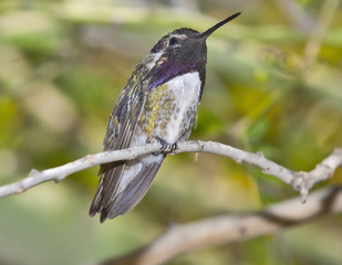 Male Blackchin Hummingbird
