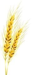 Spighe di Grano Dorato-Golden Ears of Corn-Vector