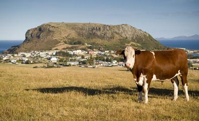 A cow grazes on a hilside of quaint Stanley, Australia