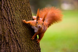 Red squirrel in the natural environment