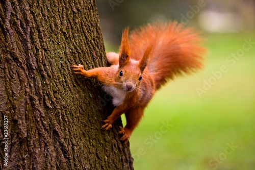 Aluminium Eekhoorn Red squirrel in the natural environment