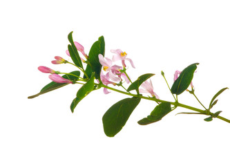 spring branch with pink flowers
