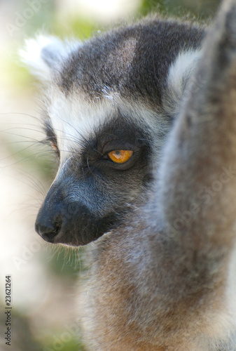sleepy ring tailed lemur
