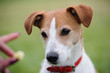 Portrait of Parson Jack Russell Terrier transfixed by a treat