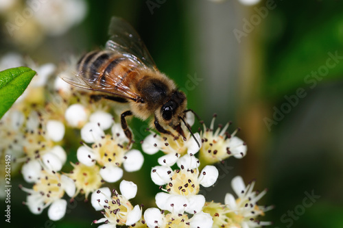 Close-up of a honey bee gathering nectar