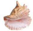 Conch Shell - 23623454