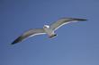 大きな羽の海猫が飛ぶ