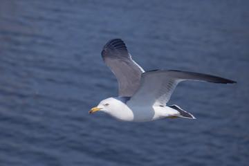海面に海猫が飛ぶ