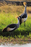African Grey Crowned Crane at Nakuru Lake, Kenya
