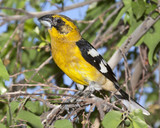 Yellow Grosbeak Bird