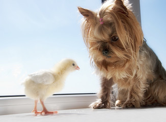 Yorkie with little yellow chik