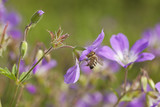 Honey bee pollinating on wood cranesbill. poster