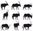 Oryx Gazela