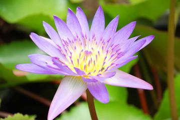 blooming lotus flower of Thai .