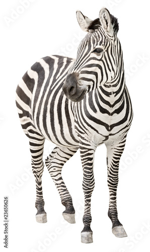 Zebra pregnant front view looking cutout