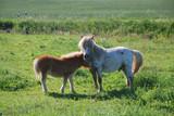 Shetland-Ponys im Gegenlicht poster