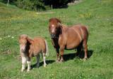 Shetland-Ponys, Stute mit Fohlen poster