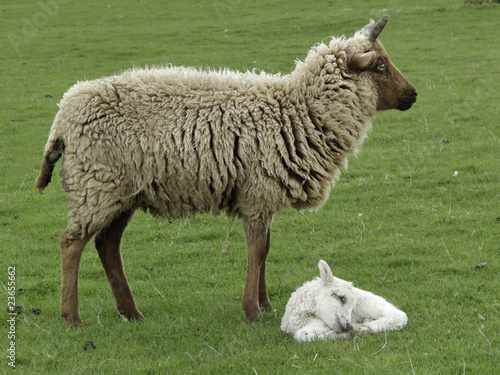 Lamb and Mother
