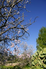Almond in flower tree and nopal cactus in mediterranean