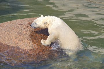 Polar bear struggles for his life