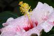 fleur hibiscus rose pastel