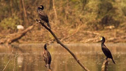 Three Cormorants standing above a River