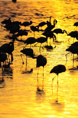 Lesser Flamingoes at sunrise at lake Nakuru, Kenya